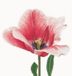 TG518A Pink Darwin hybrid tulip