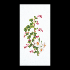 Flowering Currant-Narcissu